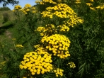Common Tansy  Tanacetum vulgare by Amy
